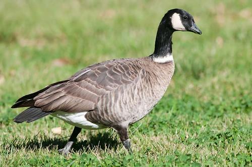 Canada Goose (Branta canadensis) videos, photos and sound recordings | the Internet Bird Collection