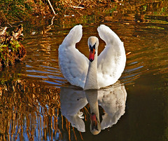 Reflection (Andy von der Wurm) Tags: lake reflection nature animal fauna deutschland see swan pond europa europe waterbird alemania nrw teich schwan allemagne soe bid tier vogel reflektion wasservogel greatphotographers hobbyphotograph uebachpalenberg mywinners platinumphoto theunforgettablepictures windhausen kreisheinsberg goldstaraward bachpalenberg frelenberg willidohmenpark ringexcellence andreasfucke