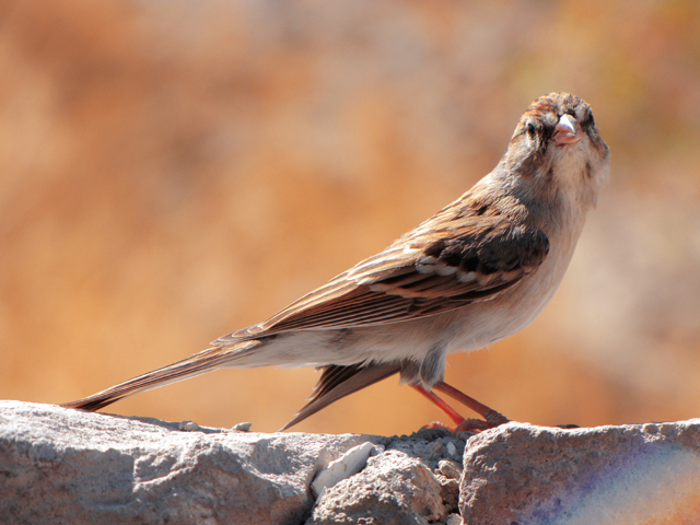 how to get rid of house sparrows