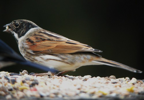 Reed Bunting at Pennington Flash