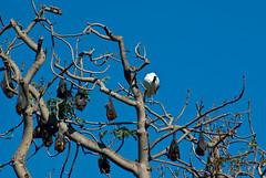 Mammal Fruits (Craig Jewell Photography) Tags: blue sky tree iso200 nocturnal bat sydney australia f90 hangin flyingfox bats royalbotanicgarden greyheadedflyingfox pteropuspoliocephalus 1800sec pentaxk10d tamronaf70300mmf456ldmacro cpjsm craigjewellphotography