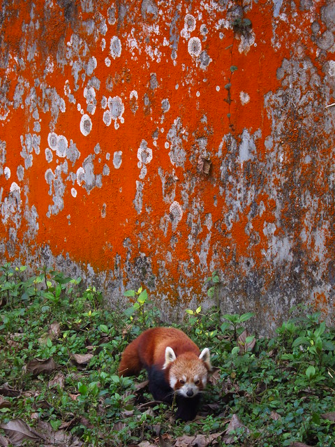 Red panda, red wall