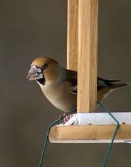 Hawfinch on the feeder (Jaedde & Sis) Tags: feeder pog bigmomma hawfinch coccothraustescoccothraustes kernebider challengefactorywinner thechallengefactory herowinner pregamewinner freshtakenthisweek fromyour1stpage