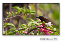 The Purple-rumped Sunbird (Leptocoma zeylonica) Male (Tony Fernando) Tags: nature birds canon shot photos snap images sri lanka photographs l srilanka f56 ef stockphoto sunbird the stockphotography 400mm zeylonica stockimagery purplerumped leptocoma thewonderfulworldofbirds srilankanimages visitsrilanka2011 tonyfernando