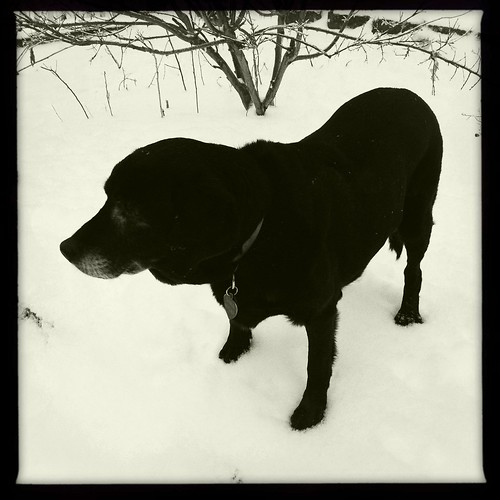 Dogs in the snow, 3 of 4: Sara