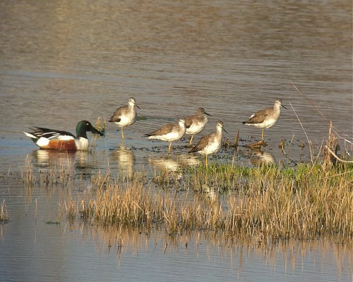 Northern Shoveler and Greater Yellowlegs