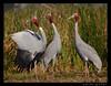 crane calling................ (amish_patel) Tags: thepca kheda parihar parihej