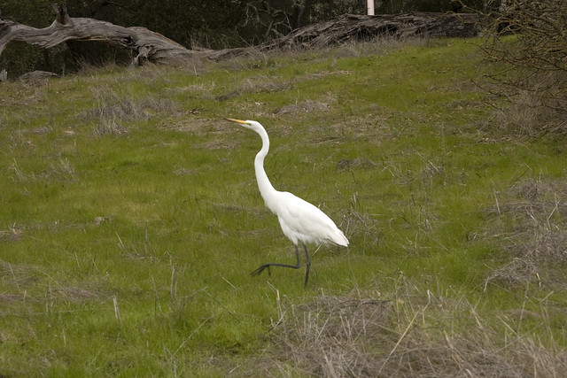 IMG_1829 Great Egret 1