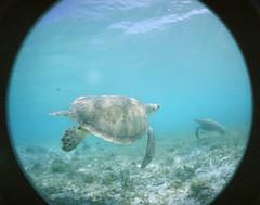 Swimming with the turtles (RodaLarga) Tags: lomo lomography underwater turtle fisheye caribbean