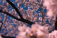 april sakura (Matthew P Sharp) Tags: pink sky flower tree japan spring kyoto asia warm sakura cherryblosson