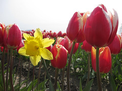 A daffodil snuck in! by Sonya Lindeman (Visit Holland) Tags: flowers spring tulips justbe visitholland readforspring