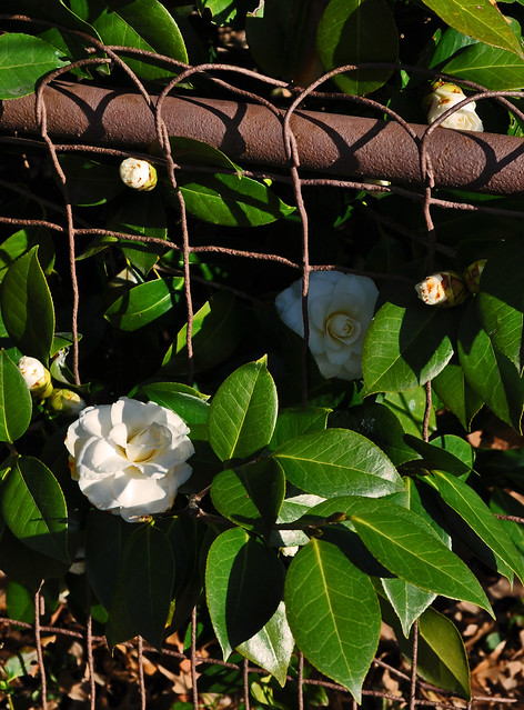 White Camellia on a Brown Fence