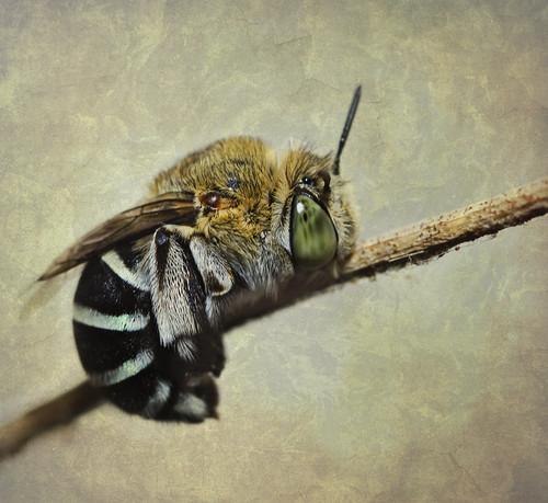 フリー写真素材, 動物, 昆虫, 蜂・ハチ, アオスジコシブトハナバチ,