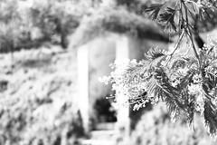 Place&flower (claudio.santucci) Tags: flower natura mimosa ricordi paesaggi posti 8marzo festadelladonna