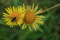 British various flower-3--Kherlen -20100803- (pcbirdtw) Tags: flora mongolia