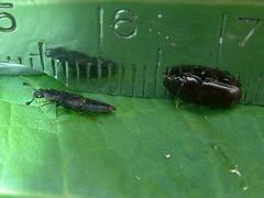 DSCF0265 (mcclarinj) Tags: ecuador andes napo yanayacu conotelus nitidulidae neotropical mcclarin neotropics glischrochilus cosanga