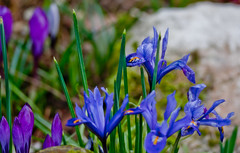 Blue Iris (futureal33) Tags: flowers flower macro crocus daffodil bouquet chrysanthemum snowdrop chrysanthemums plasticflower fakeflower crocusflower chrysanthemumflower snowdropflower canon60mm28 graveflowersmixedbouquet