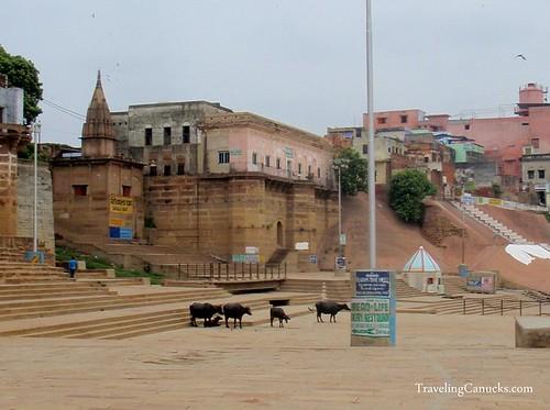 Sacred Cows in Varanasi, India