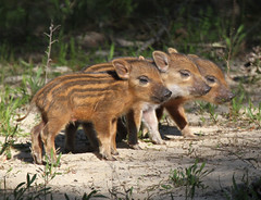 Cute Baby Boars (Jacqui Herrington:) Tags: baby spain mummy boars stripy wildboars cotodonana