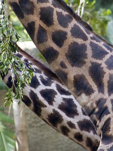 Giraffe necks