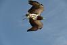 Aguila Escudada (Carlos J. Teruel) Tags: españa murcia lightroom d300 terranatura 2011 18200vr murciamurcia xaviersam onlyraw fotoencuentrosdelsureste