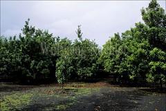 00042076 (wolfgangkaehler) Tags: trees usa tree hawaii nuts plantation hawaiian northamerica bigisland macademia nut bigislandhawaii plantations hawaiianislands macademianut hawaiianisland hawaiiislands macademianutplantation