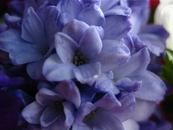 lavender hyacinth 004