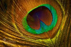 As Vain as a Peacock.. (SonOfJordan) Tags: color macro closeup canon eos colorful quote vanity amman peacock pride jordan xsi plume 450d sonofjordan shadisamawi wwwshadisamawicom