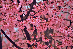 JEKA Photography: Cherry Blossoms in Hot Springs Arkansas (Jeff Rose Photography) Tags: world travel pink sky flower tree art jeff nature rose horizontal closeup outdoors photography photo spring flora day branch blossom connecticut nopeople growth backgrounds cherryblossom cherryblossoms arkansas hotsprings selectivefocus tranquilscene jeka partof colorimage fragility newlondoncounty jeffrose lowangleview prunusserrulata orientalcherrytree jekaworldphotography jeffrosephotography kalitharosephotography