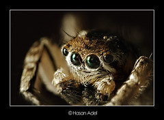 Jumper Spider (HASAN_ADEL) Tags: portrait macro canon insect lens spider eyes close micro saudi arabia 2