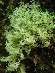 Lefidium tenerum (Rotuli) Tags: australia tasmania lichen bluetier fruticoselichen leifidiumtenerum sphaerophoraceae