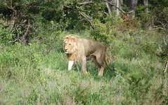 Leone (Re Gaude) Tags: southafrica ngala africa mammals lion pantheraleo leone