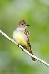 _53F5064 Great Crested Flycatcher (~ Michaela Sagatova ~) Tags: bird nature dundas flycatcher greatcrestedflycatcher myiarchuscrinitus birdphotography dvca michaelasagatova