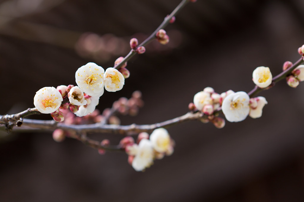 Japanese Apricot - White