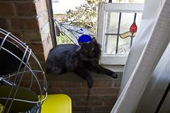 Boris, Squeezed in with Breakables (mycatfredisfat) Tags: black cat feline stainedglass brickwall boris manx loftwindow vintagefan yellowvintagecart