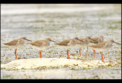 Common Red Shanks (Rey Sta. Ana) Tags: birds philippines cebu olango reystaana