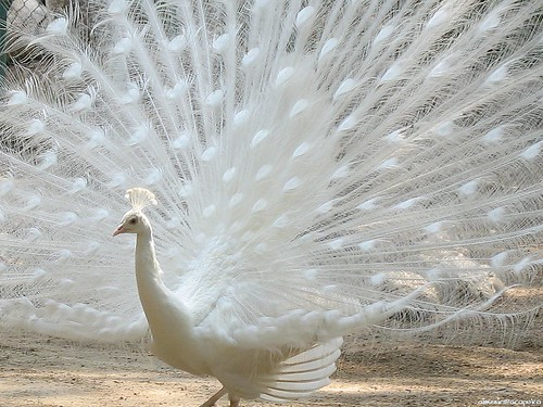 peacock_1