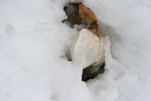 snowy hellebore