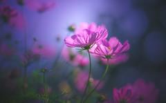 Mystic (Dhina A) Tags: sony a7rii ilce7rm2 a7r2 helios402 c f15 helios402c85mmf15 prime kmz russian 10blades 402 helios bokeh mystic colors garden cosmos flower