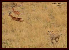 FEMALE LIONESS (Panthera leo) CHASING IMPALA (Aepyceros melampus)...... MASAI MARA......SEPT 2016 (M Z Malik) Tags: nikon d3x 200400mm14afs kenya africa safari wildlife masaimara keekoroklodge exoticafricanwildlife exoticafricancats flickrbigcats leo lions ngc npc