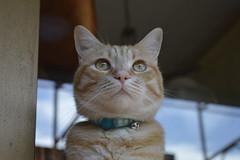 _DSC0018 (saravanni) Tags: gatto cat cats chat katzen gato kot redcat blondecat cannella cannellathecat animals animali animalplanet