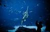 Saw Tooth Shark (mjkjr) Tags: blue atlanta fish ga georgia rebel aquarium shark lowlight underwater dof bokeh availablelight atl handheld georgiaaquarium whaleshark canondslr f28 selectivefocus 17mm 2011 1755mm canonlenses sawtoothshark oceanvoyager 550d abigfave t2i clubsi ef1755mmf28isusm 1202011 mjkjr httpwwwflickrcomphotosmjkjr atlantatourism atlantadaytrip somethingtodoinatlanta sharkandkid