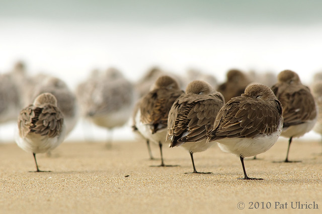 Resting shorebirds, Point Reyes National Seashore - Pat Ulrich Wildlife Photography