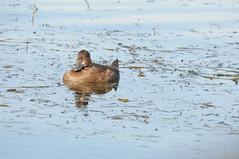 2010 Lesser Scaup 6 (DrLensCap) Tags: lesser scaup lake hood anchorage international airport alaska ak duck fowl bird robert kramer