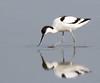 Avocet (Andrew Haynes Wildlife Images) Tags: bird nature wildlife norfolk nwt avocet wader cleymarsh canon7d ajh2008