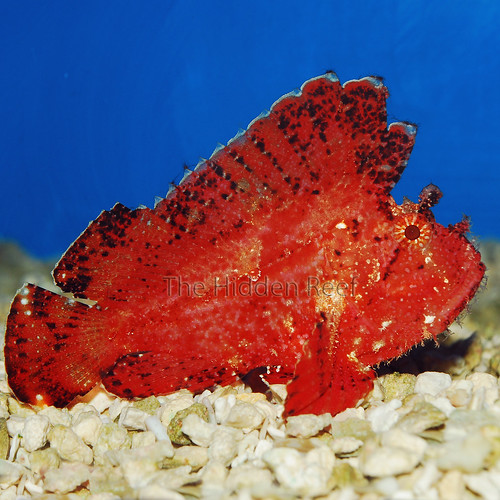 Red Hawaiian Leaf Fish