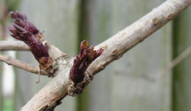 Leaf bud on an elderberry branch