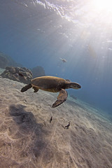 swim (bluewavechris) Tags: ocean life blue sea nature water animal coral swim hawaii sand marine underwater snorkel turtle reptile wildlife dive shell maui reef creature flipper