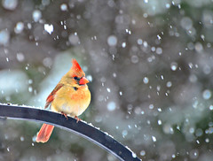 A Snow Bird Too (Jeff Clow) Tags: winter snow nature birds texas cardinal snowing dfw snowbird gapr frjrc