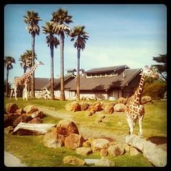 Hooray giraffes!